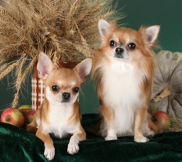 Фото чихуахуа, фото собак породы длинношерстные чихуахуа ...: http://chihuahua-foto.narod.ru/d/foto-chihuahua.html