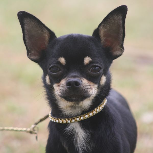 Фото собак гладкошерстные чихуахуа